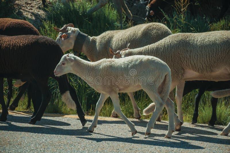 Multitud de las cabras que pastan en sward al lado del camino foto de archivo
