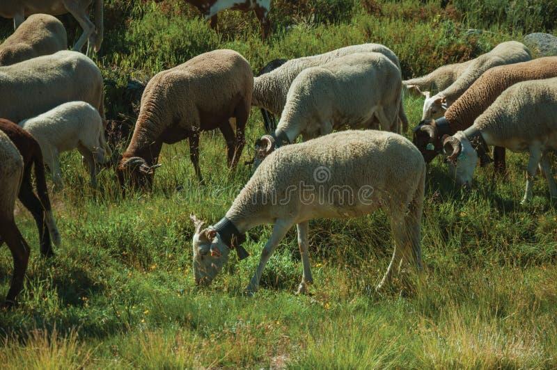 Multitud de las cabras que pastan en sward verde con los arbustos fotografía de archivo