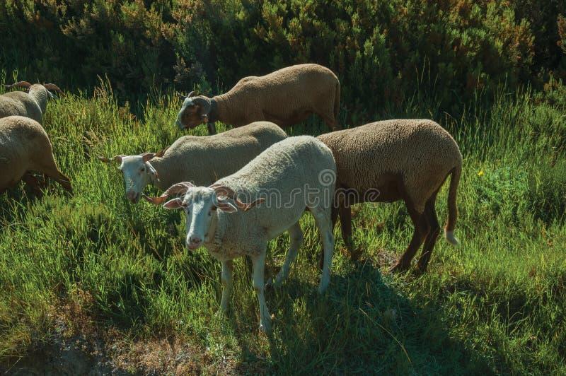 Multitud de las cabras que pastan en sward verde con los arbustos imágenes de archivo libres de regalías