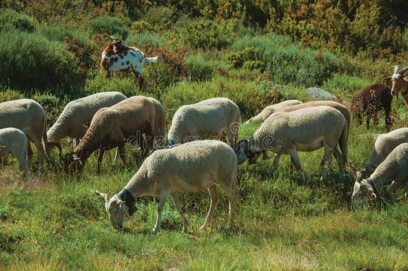 Multitud de las cabras que pastan en sward verde con los arbustos fotos de archivo libres de regalías