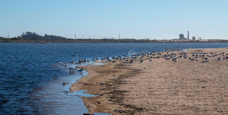 Multitud de las gaviotas [Laridae] en el estuario del parque de estado de McGrath en donde el río Santa Clara resuelve el Pacífic fotografía de archivo libre de regalías