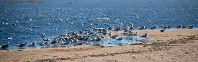 Multitud de las gaviotas [Laridae] en el estuario del parque de estado de McGrath en donde el río Santa Clara resuelve el Pacífic imágenes de archivo libres de regalías