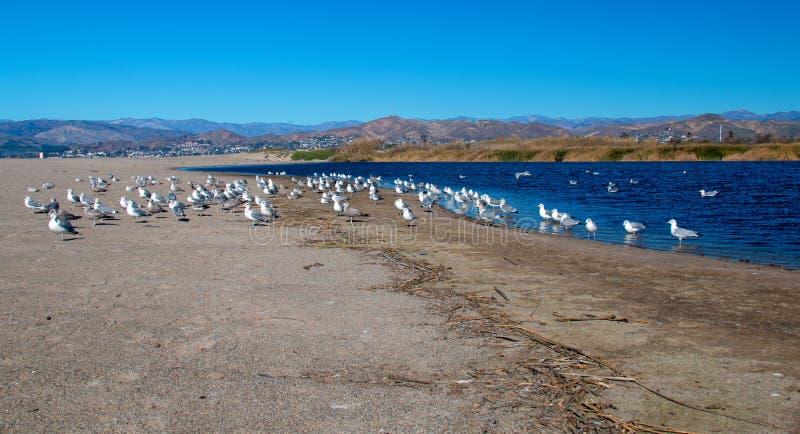 Multitud de las gaviotas [Laridae] en el estuario del parque de estado de McGrath en donde el río Santa Clara resuelve el Pacífic imagen de archivo