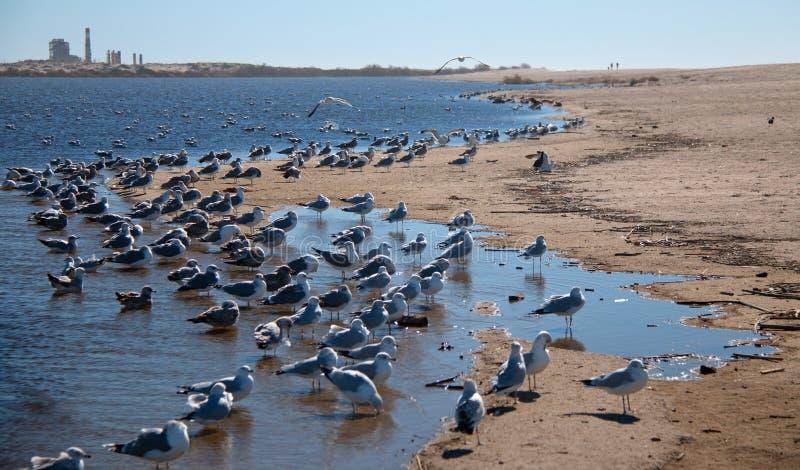 Multitud de las gaviotas [Laridae] en el estuario del parque de estado de McGrath en donde el río Santa Clara resuelve el Pacífic fotos de archivo