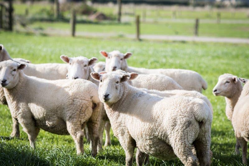 Multitud de las ovejas foto de archivo
