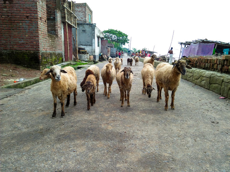 Multitud de las ovejas fotos de archivo libres de regalías