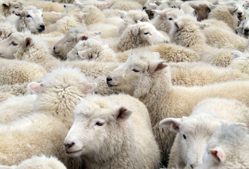 Multitud de las ovejas blancas imagenes de archivo