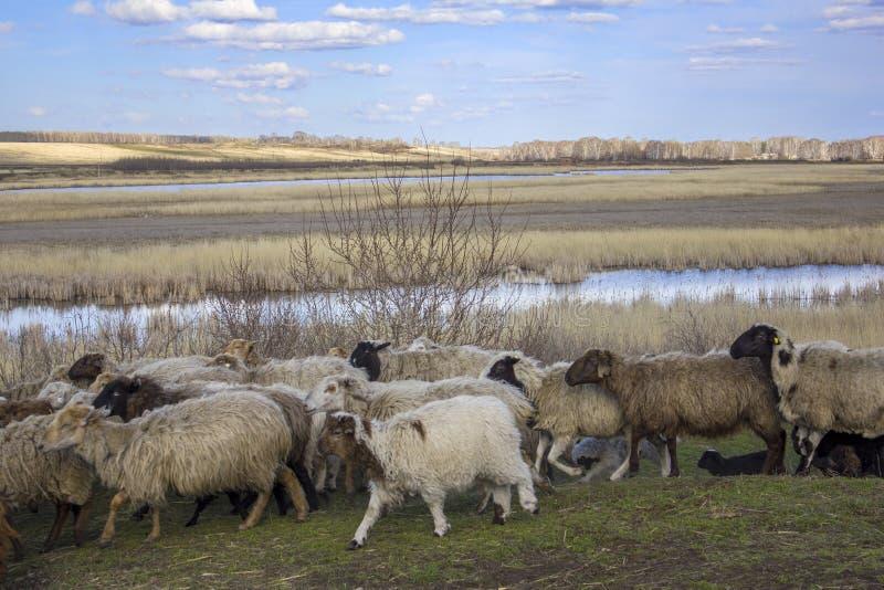 Multitud de las ovejas blancas y negras con los cachorros que corren a través de un prado verde contra un fondo de árboles secos, imágenes de archivo libres de regalías