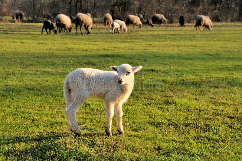 Multitud de las ovejas con el cordero en primero plano imagen de archivo