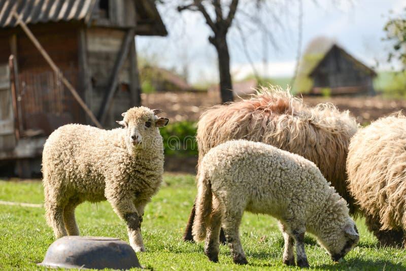 Multitud de las ovejas en la granja que comen la hierba fresca en la primavera imagenes de archivo
