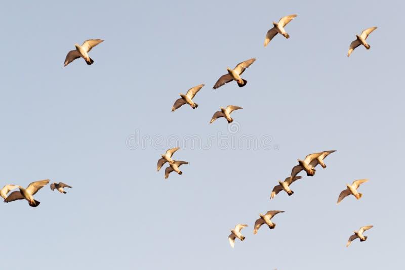 Multitud de las palomas imagen de archivo libre de regalías