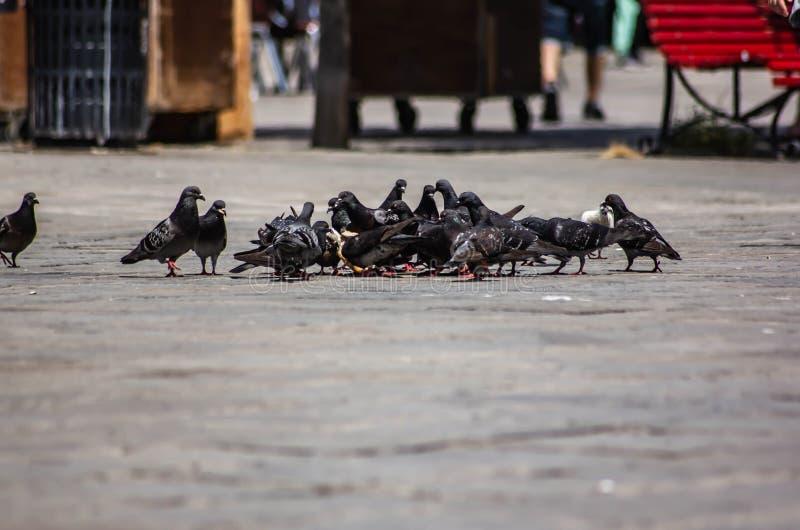 Multitud de las palomas atentas en la consumición de las migas de pan dejadas por los turistas en Venecia imagen de archivo libre de regalías