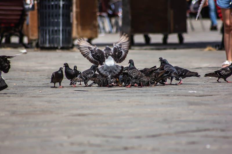 Multitud de las palomas atentas en la consumición de las migas de pan dejadas por los turistas en Venecia fotografía de archivo libre de regalías