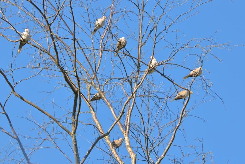 Multitud de las palomas de la mañana en árbol imagen de archivo