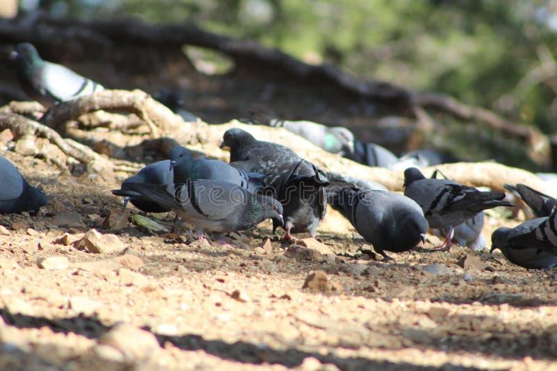 Multitud de las palomas que picotean el grano foto de archivo libre de regalías