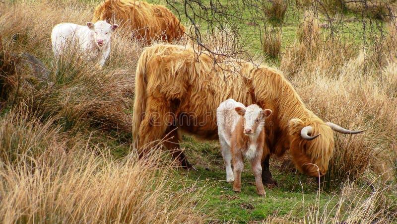 Multitud de las vacas que pastan en prado verde fotografía de archivo