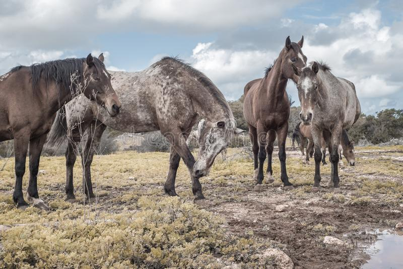 Multitud de los caballos salvajes que miran en el prado en un día nublado fotografía de archivo libre de regalías