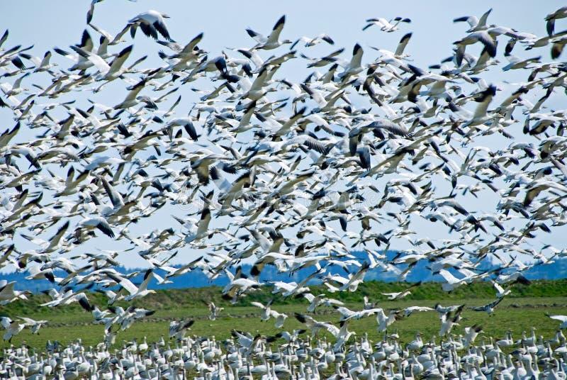 Multitud de los gansos de nieve imágenes de archivo libres de regalías