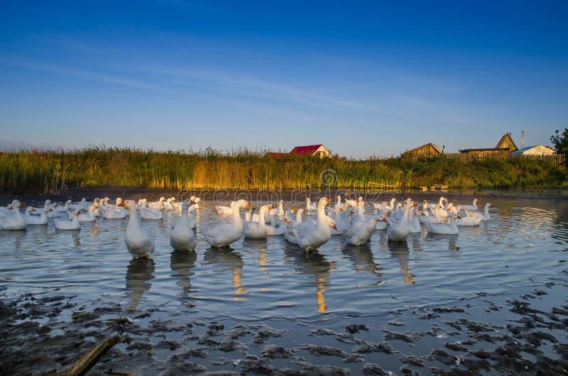 Multitud de los gansos que nadan en el río temprano por la mañana en foto de archivo libre de regalías