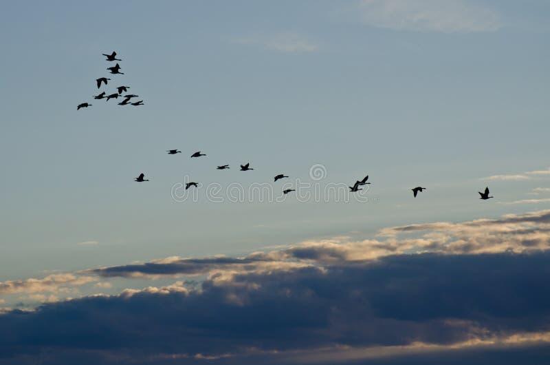 Multitud de los gansos que vuelan a través del cielo de la mañana fotografía de archivo libre de regalías