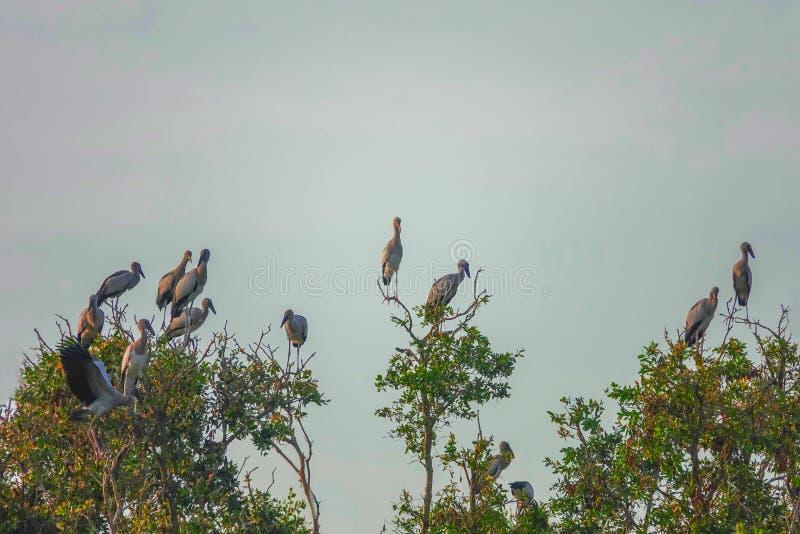 Multitud de los oscitans del Anastomus de los pájaros de Openbill del asiático que se sientan en árbol en Thale Noi Waterfowl Res imágenes de archivo libres de regalías