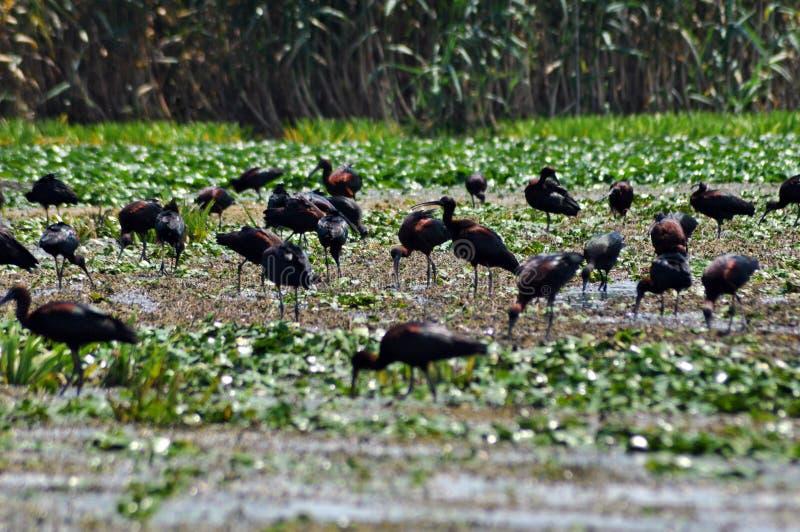 Multitud de los pájaros de Ibis (falcinellus de Plegadis) foto de archivo libre de regalías