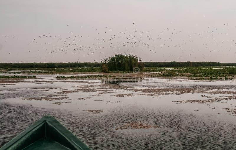 Multitud de los pájaros que se van volando, delta de Danubio, Rumania imagen de archivo