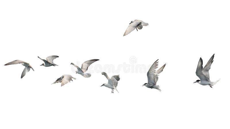 Multitud de los pájaros que vuelan aislada en el fondo blanco fotos de archivo