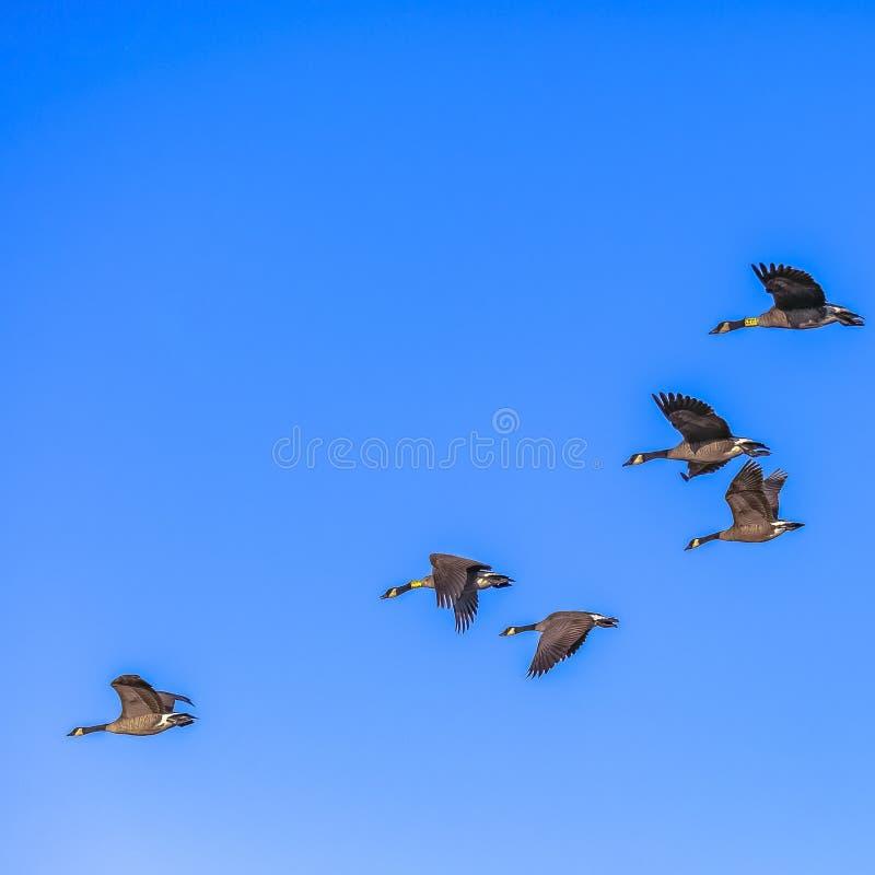 Multitud de los pájaros que vuelan en el cielo brillante en Utah foto de archivo
