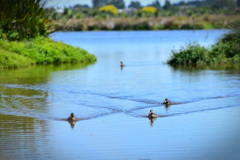 Multitud de los patos que nadan en un lago en Travis Wetland Nature Heritage Park en Nueva Zelanda foto de archivo