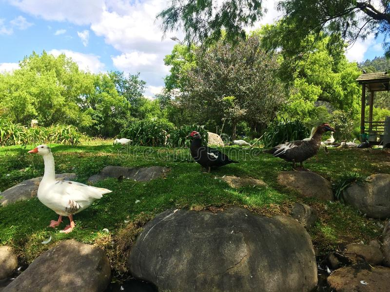 Multitud de los patos recolectados en un parque fotografía de archivo