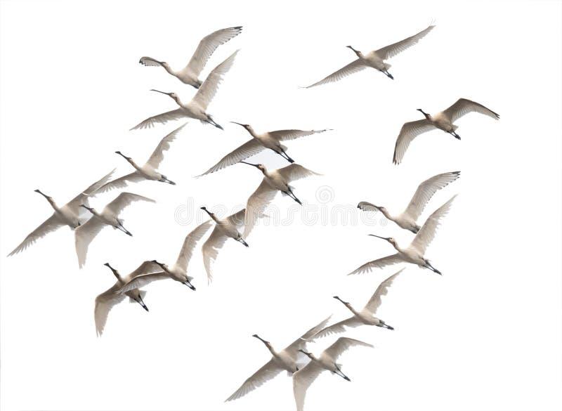 Multitud de los spoonbills que vuelan por mañana del invierno imagen de archivo libre de regalías