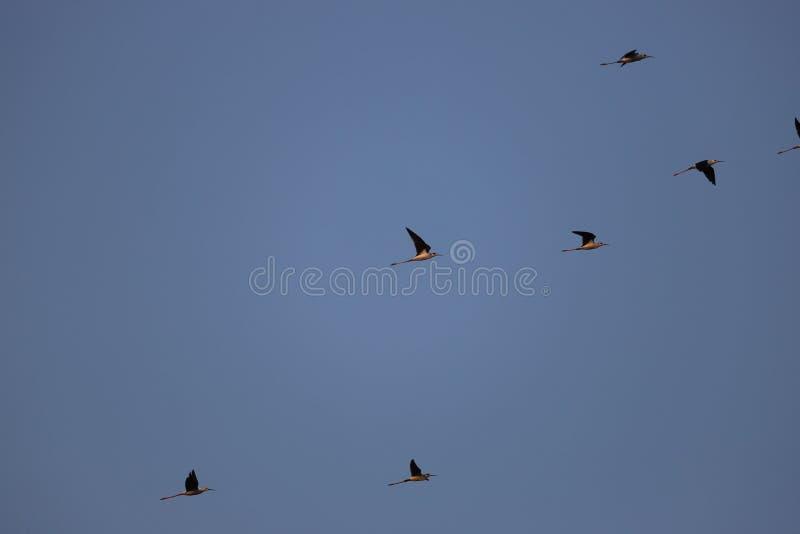 Multitud de los zancos negros del cuello en el área de Bohai Tianjin fotos de archivo