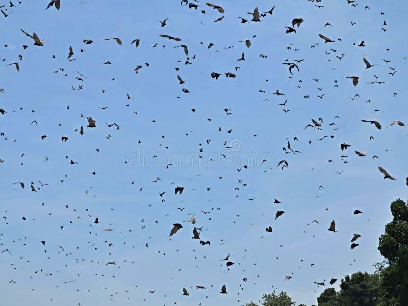 Multitud de los zorros de vuelo en un cielo azul en el hábitat africano de la naturaleza imagenes de archivo