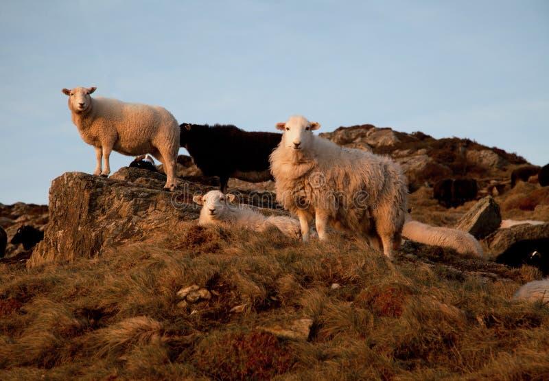 Multitud de ovejas fotografía de archivo libre de regalías