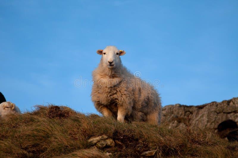 Multitud de ovejas imagen de archivo