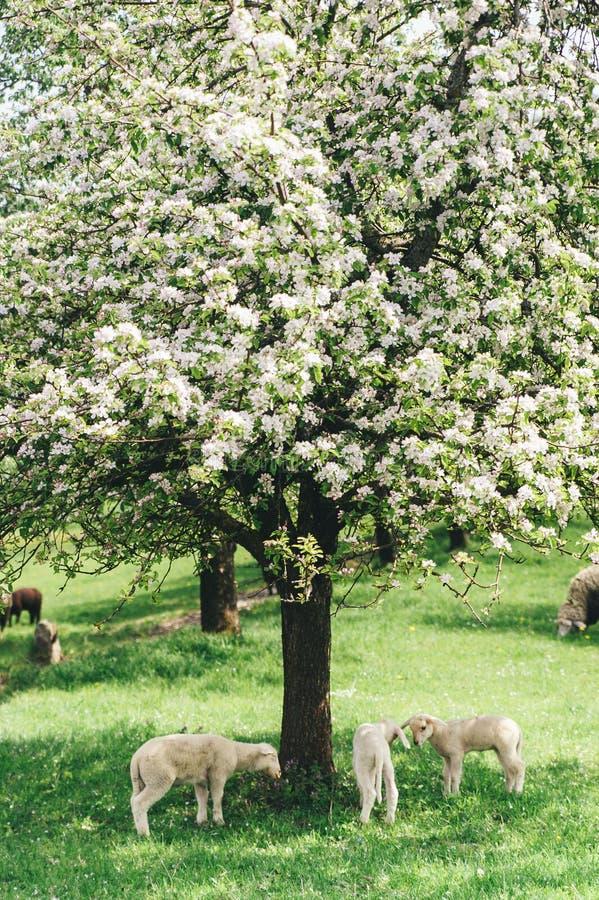 Multitud de ovejas debajo de un árbol fotos de archivo