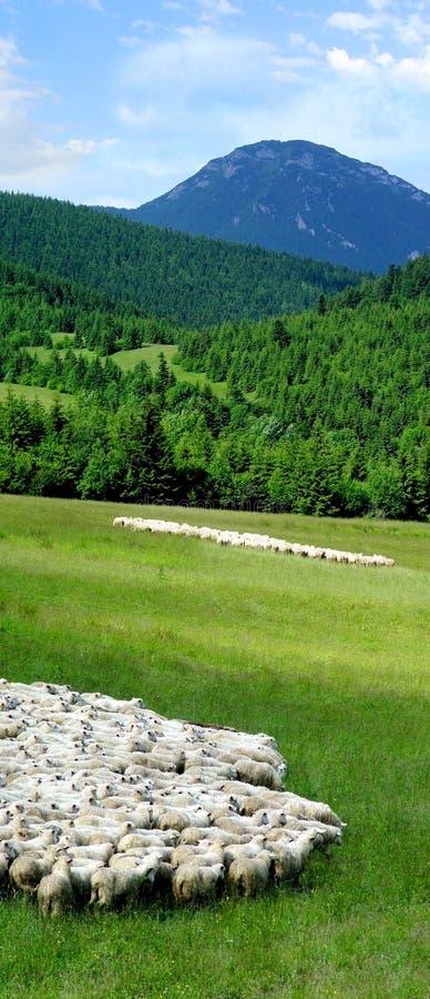 Multitud de ovejas en campo foto de archivo