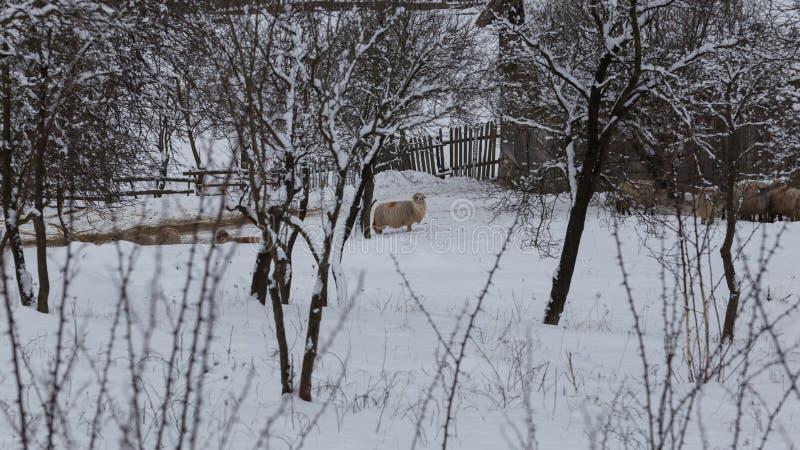 Multitud de ovejas en condiciones duras del invierno foto de archivo libre de regalías