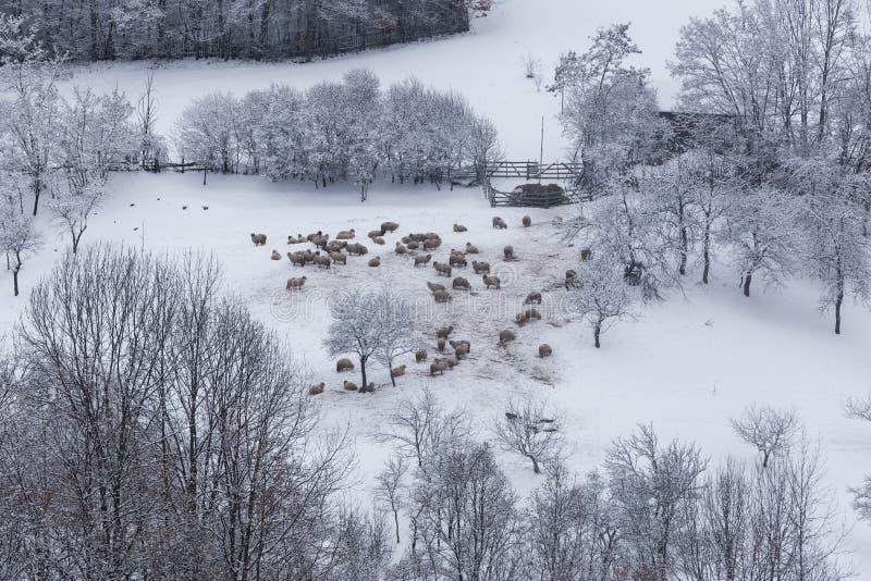 Multitud de ovejas en condiciones duras del invierno fotografía de archivo