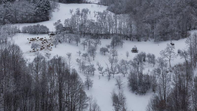 Multitud de ovejas en condiciones duras del invierno imagen de archivo libre de regalías