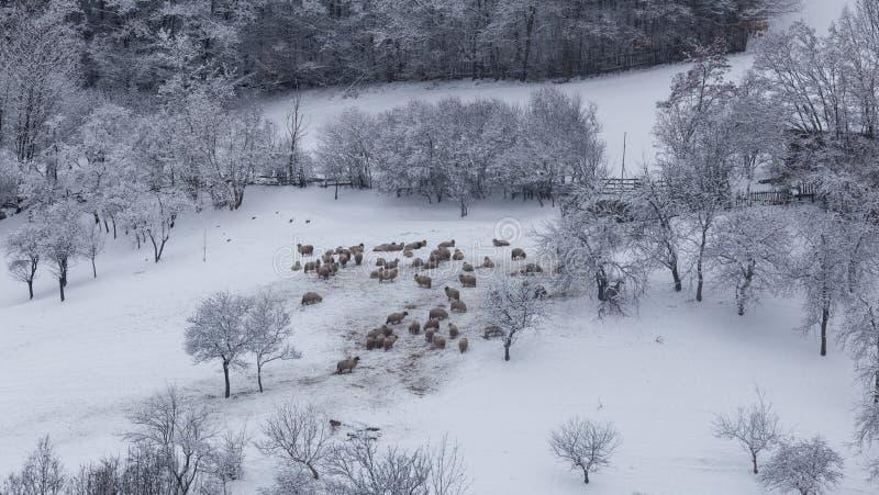 Multitud de ovejas en condiciones duras del invierno fotos de archivo libres de regalías