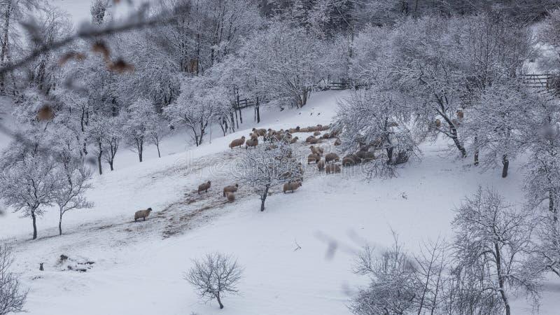 Multitud de ovejas en condiciones duras del invierno fotos de archivo