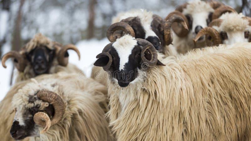 Multitud de ovejas en condiciones duras del invierno fotografía de archivo libre de regalías