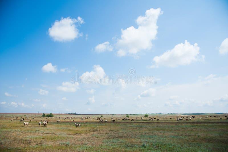 Multitud de ovejas en el prado imagenes de archivo