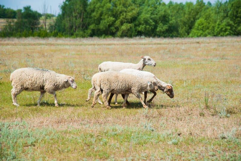 Multitud de ovejas en el prado foto de archivo libre de regalías
