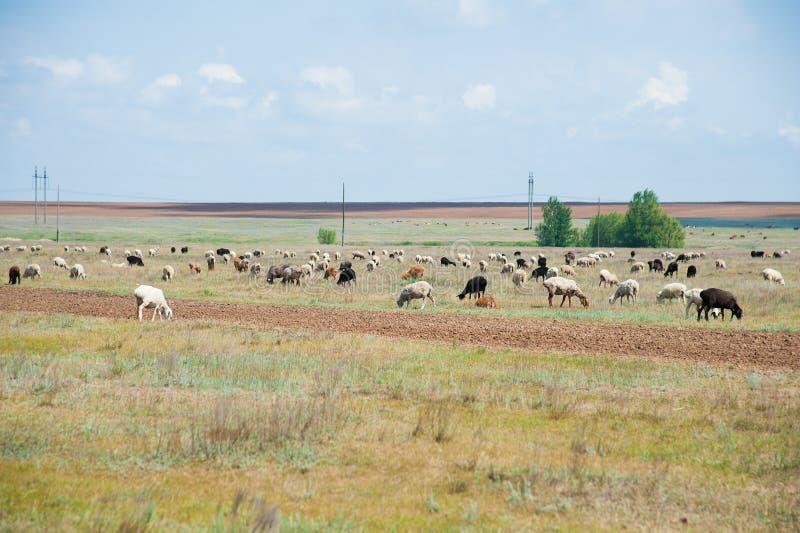 Multitud de ovejas en el prado fotos de archivo