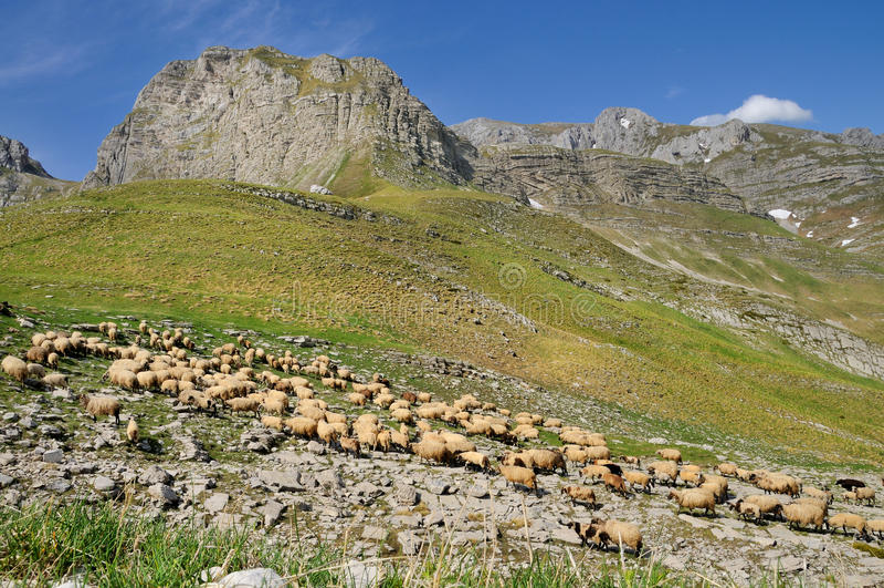 Multitud de ovejas en la montaña de Durmitor foto de archivo libre de regalías