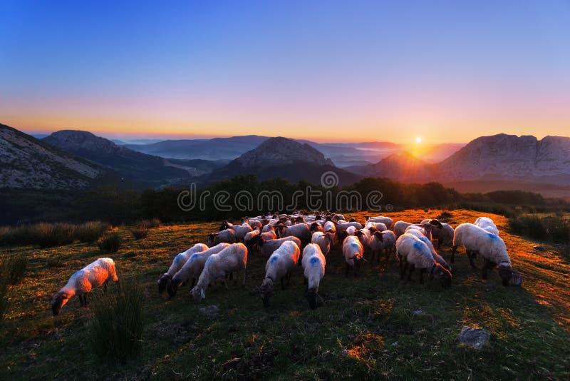 Multitud de ovejas en Urkiola en la salida del sol fotos de archivo libres de regalías