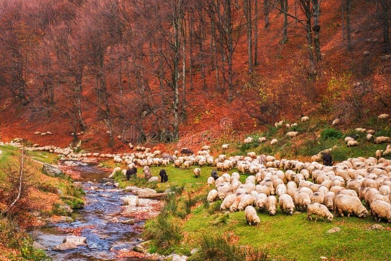 Multitud de ovejas y de burros en el banco del río cerca del aut fotos de archivo libres de regalías